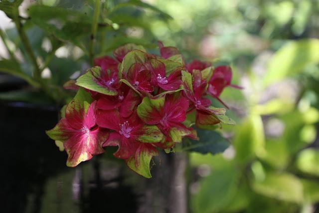 Hydrangea 'Glam Rock' Flower