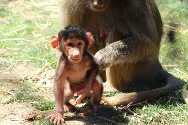 Baby Animals: Baboon infant 3