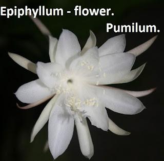 epiphyllum flower_Pumilum