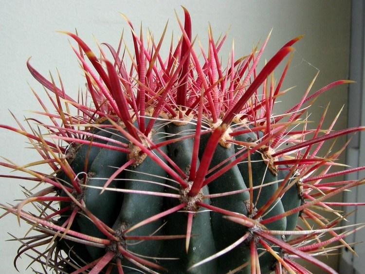 Kaktus mini Ferocactus