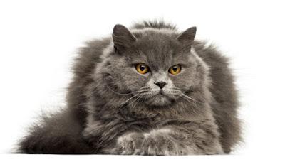 Kucing BLH