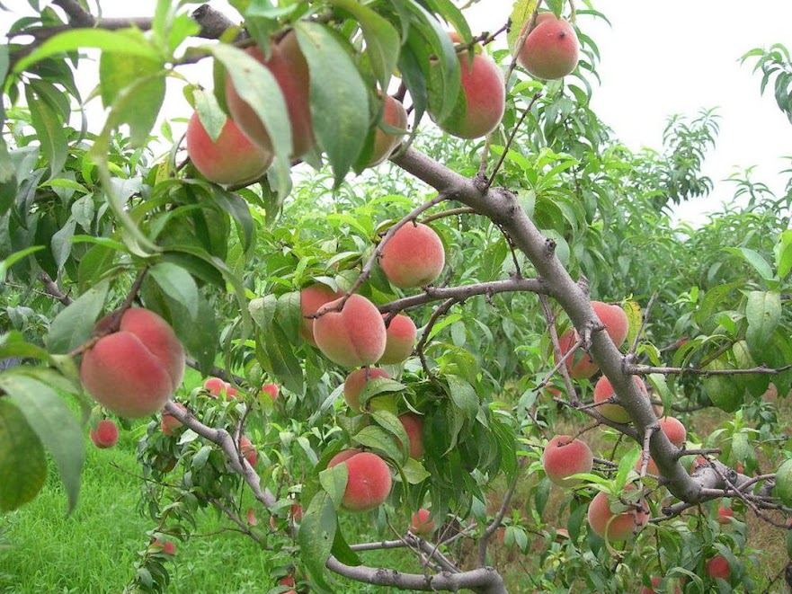 Promo Bibit buah persik bibit tanaman buah persik DELIFMART Blitar