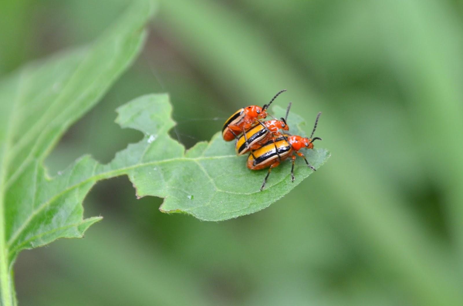 Three-lined Potato Beetles, Lema daturaphila