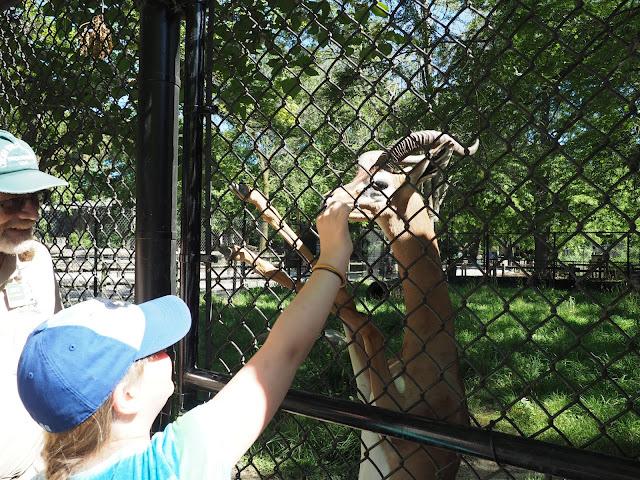 feeding a gerenuk