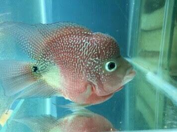 ikan louhan bonsai cencu