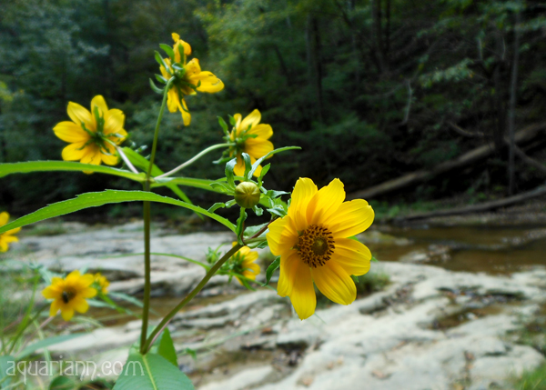 Yellow Flowers at Cedar Creek Photo by Aquariann