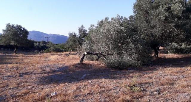 Γιατί σε λίγα χρόνια δεν θα έχουμε ελιές στην Ελλάδα