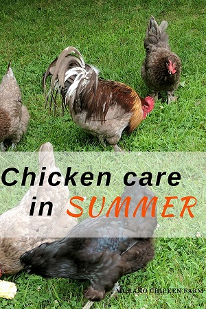 Chickens in summer, getting them ready for the heat
