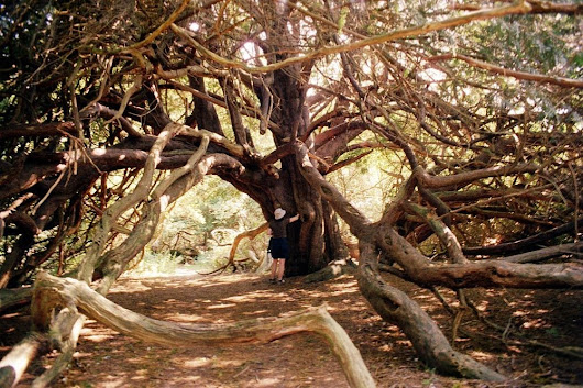 The Ancient Yew Forest of Kingley Vale