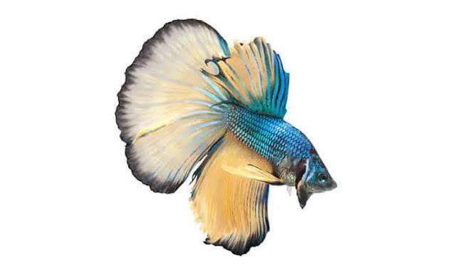 Ikan Cupang Halfmoon - Hantu Laut