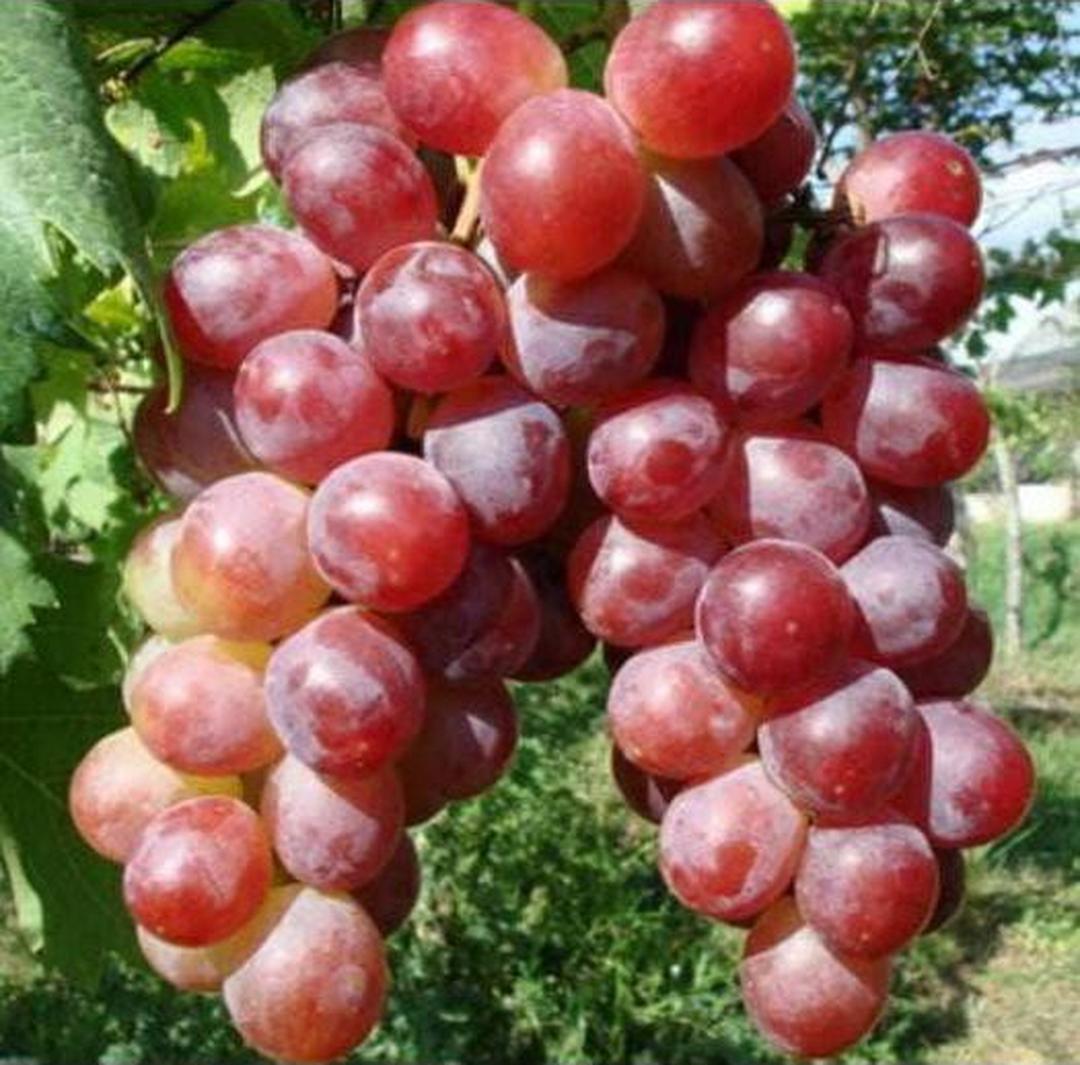 Bisa Partai Besar! Anggur Red Prince Bibit Anakkan Pohon Buah Z3R0 Kota Bekasi #bibit buah genjah murah