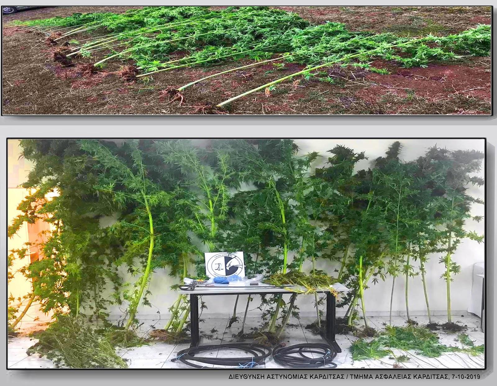 Εντοπίστηκε φυτεία δενδρυλλίων κάνναβης σε αγροτική περιοχή των Τρικάλων