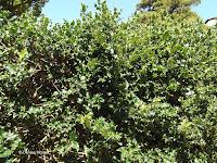 Holly tree - Wellington Botanic Garden, New Zealand