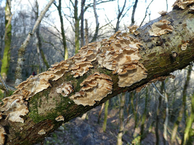 Winter Tree Fungus