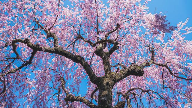 枝垂れ桜,桜