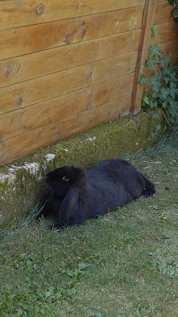 lapin géant français belier
