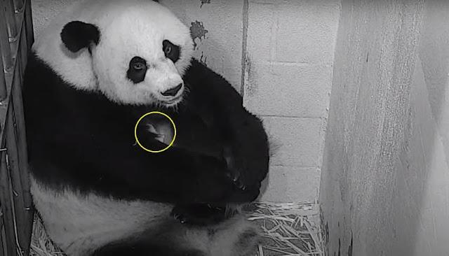 Nacimiento de oso panda VIDEO - Giant Panda Mei Xiang - Giant Panda Mei Xiang