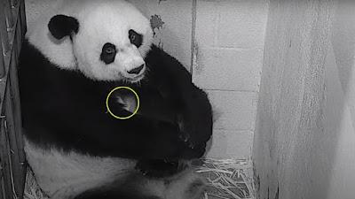 Transmiten en vivo nacimiento de oso panda en EEUU | VIDEO