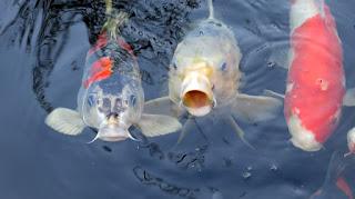 Klasifikasi Ikan Koi dan Morfologi Ikan Koi (Cyprinus Carpio)