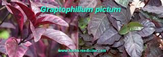 Hemorrhoids use Graptophyllum pictum