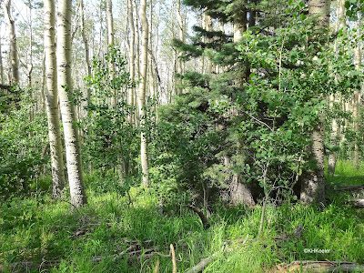 forest, Taos, New Mexico