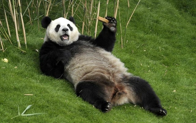 This snacking and relaxing panda