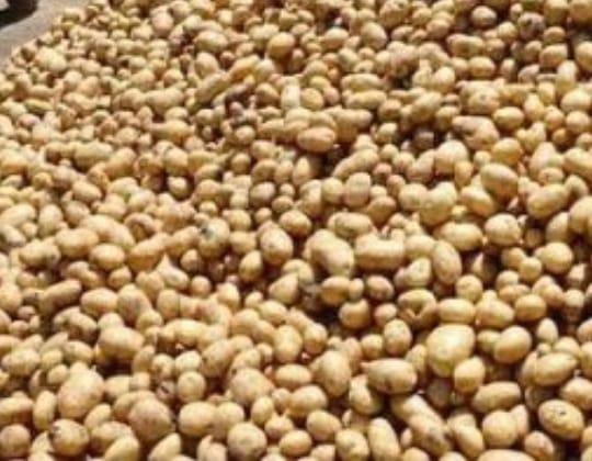 فحص 107 ألف طن تقاوي بطاطس واعتماد زراعة 51 ألف فدان للموسم الشتوى