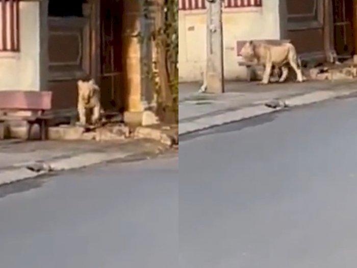 Ngeri Banget! Beredar Video Menegangkan saat Seekor Singa Lepas dan Berjalan-jalan di Kota
