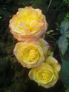 Three Yellow Rose Flower