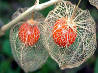 Two round orange flowers encased in a white web-like cage