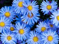 Teknik Jitu Menanam Serta Merawat Bunga Aster, Ternyata Menguntungkan