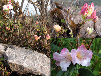 ต้นกุหลาบขาวเชียงดาว คำขาวเชียงดาว Rhododendron ciliicalyx