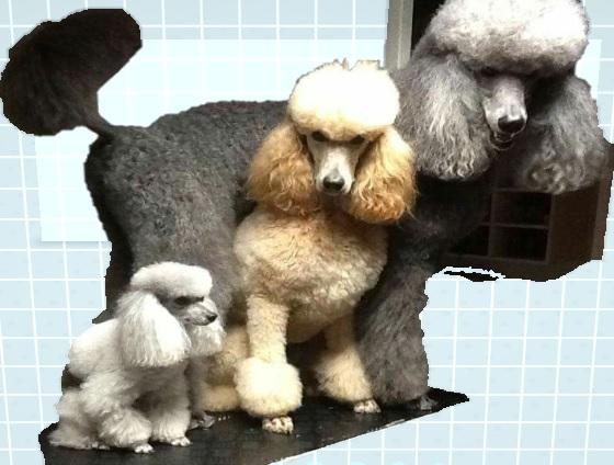 Anjing Pudel Ras Peliharaan Lucu Ramah Dengan Anggota Keluarga