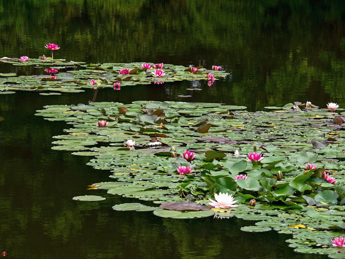 From The Garden Of Zen Waterlily Flowers Ofuna Botanical Garden