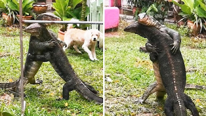 Dua biawak besar berkelahi