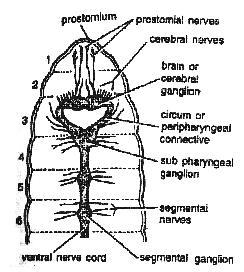 worm Nervou system