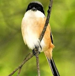 Khasiat Dan Manpaat Pemberian Cicak Untuk Burung Cendet