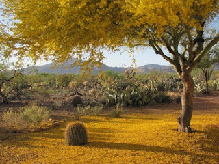 A Mesquite tree with branches full of yellow polllen and pollen forming a carpet of yellow on the ground. Photo by Caroline Reilly.