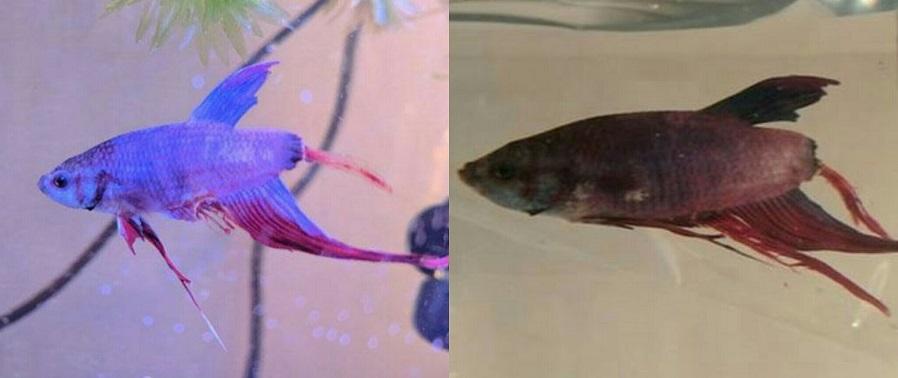 Fin Rot pada Ikan Cupang, Penyebab, Gejala, dan Cara mengobatinya