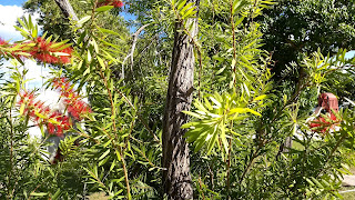 Callistemon citrinus (Bottlebrush) tree australia puffy red flowers