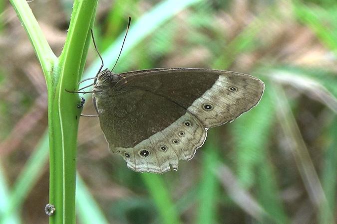 Dlium Sudra bushbrown (Mycalesis sudra)
