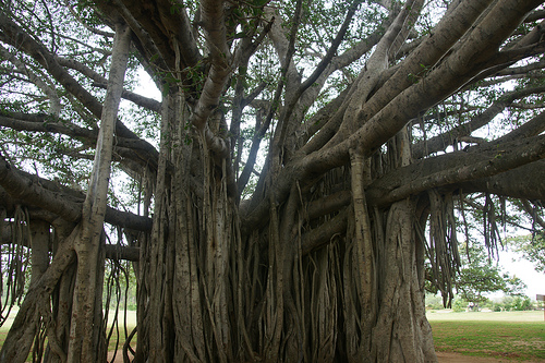 Ficus benghalensis, fig tree, Indian sacred grooves,religious ecology