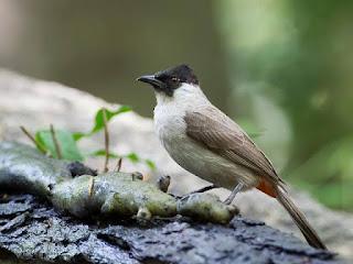 Burung kutilang bisa sangat mahal jika banyak isian