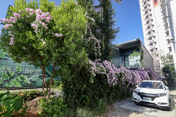 台中南屯蒜香藤秘境,綿延30公尺蒜香藤花牆,綠的傢俱向上店旁