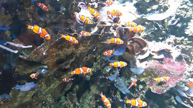 poisson clown, nemo, ocearium, aquarium, croisic, bullelodie