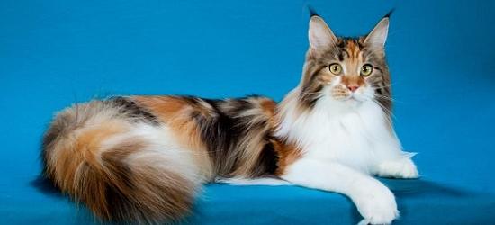 Gambar Indonesia Harga Kucing Raksasa Bisa Sampai Belasan