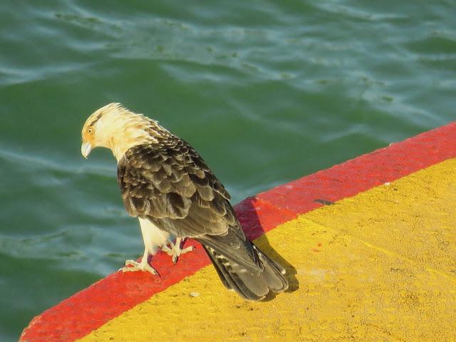 Panama City Layover: yellow-headed caracara at the Miraflores Locks of the Panama Canal