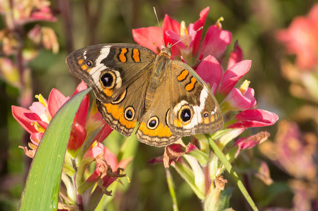 Common Buckeye on Indian Paintbrush