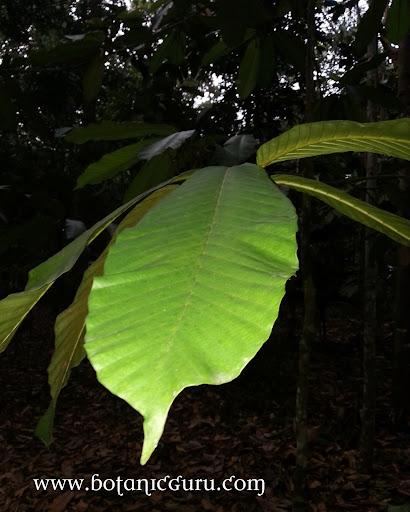 Dipterocarpus cornutus, Keruing leaves