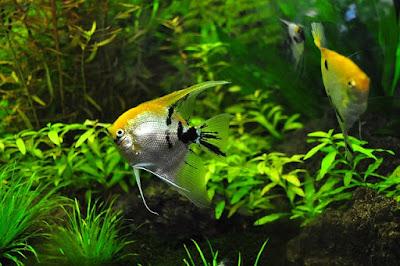 Jenis Ikan Hias Air Tawar manfish, ikan layang-layang